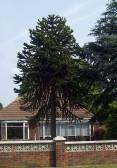 Monkey Puzzle tree in Bushmead Road, Eaton Socon in June 2008