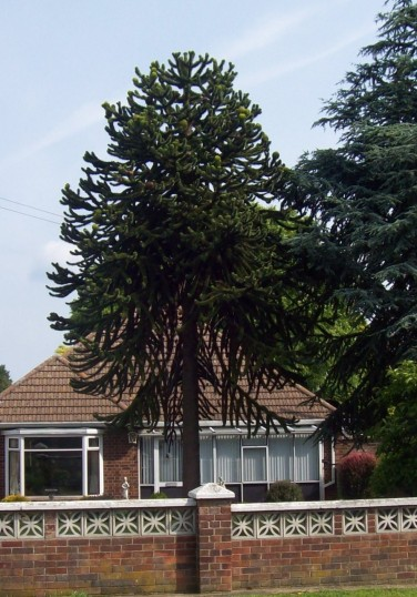 Monkey Puzzle tree in Bushmead Road, Eaton Socon in June 2008