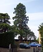Redwood Tree, 10 Bushmead Rd, Eaton Socon in June 2008