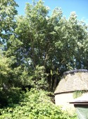 Lucombe Evergreen Oak Tree at TSGCS Printing Works, Great North Rd, Eaton Socon in July 2008