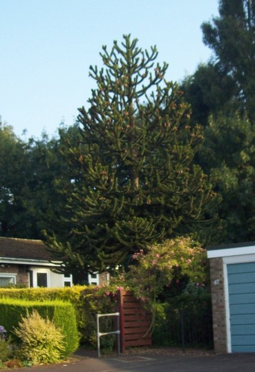 Monkey Puzzle tree in Drake Road, Eaton Socon, in July 2008