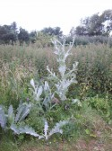 Ornamental Thistle at Little Paxton Pits Nature Reserve in July 2008