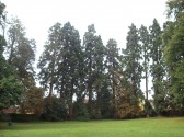 11 Redwood trees standing tall at Beatty Wood play area near Beatty Rd in Eaton Socon