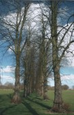 Avenue of trees in Longsands School, formerly Priory Park, St Neots, in 2006