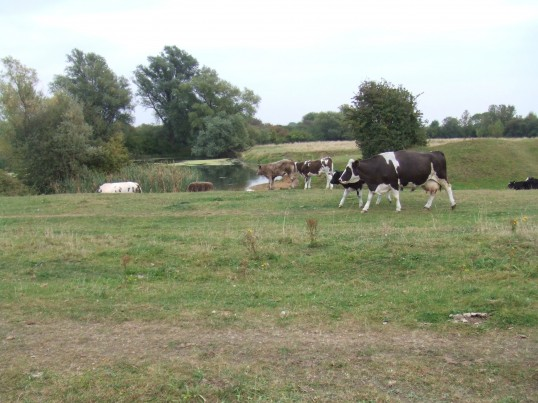 A field of real cows and calves next to the Riverside Park in the centre of St Neots, the largest town in Cambridgeshire, in Spring 2009