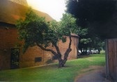 Old Mulberry Tree outside the library in St Neots in July 2009