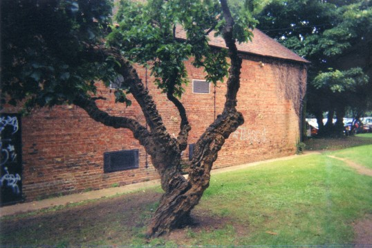 Old Mulberry tree near St Neots Library in July 2009