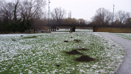 Molehills in the snow on the frozen Riverside Park (P. Ibbett)