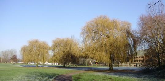 Willow trees in Regatta Meadow alongside the River Great Ouse (P.Ibbett)