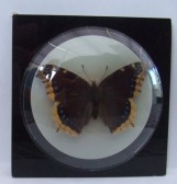 Camberwell Beauty butterfly in a glass paperweight given by Samuel Jones Paper Mill to salesmen before the firm bought the factory in Little Paxton