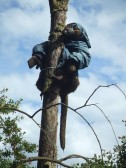 A monkey wearing a jacket in a tree near Priory Park in St Neots in June 2012