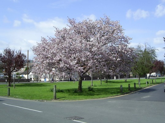 Eaton Socon Green - one of the trees in Spring 2004