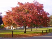Eaton Socon Green - one of the trees in September 2009
