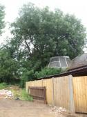Semi-everygreen Oak tree at the former Soloprint printing premises in Eaton Socon - 30th July 2013