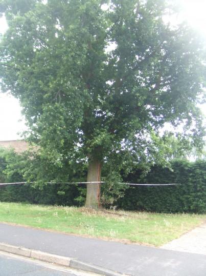 Tree in Brook Road, Eaton Socon, hit by lightning in July 2013
