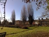 Lombardy Poplars alongside Crosshall Road, just outside Sudbury meadow, January 11th 2014