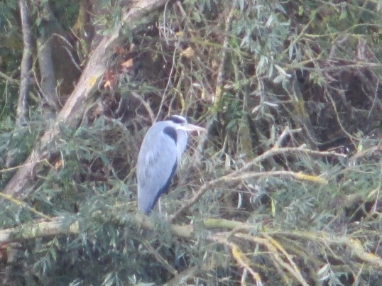 A heron on the riverbank opposite the Bridge House - 1st November 2014