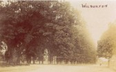 The Wilburton oak tree (first on the left) at the top of Station Road - now a stump.