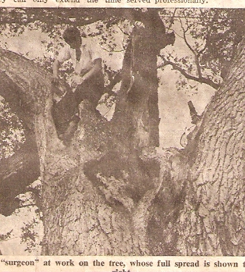 Trimming and preserving the old oak tree.