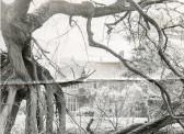 Old tree in grounds of Wilburton Manor, now Harbour School