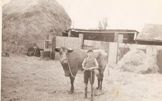Pete Warren with a cow in Mr. Seppings Farm (now Seppings Close)