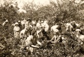 Upwell Gooseberry picking gang. Photo Judy Green