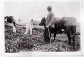 Harold Sulman with his cows
